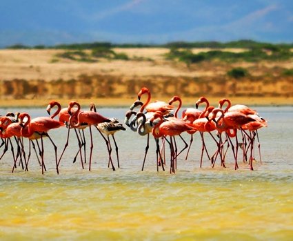Guajira - Flamingo